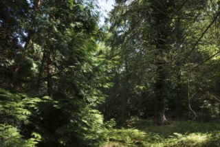 CG Hortus6 Picea Asperata 8108822@7360 8bit 300dpi web