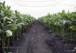 0278_Nicaragua_Tabaksplantage_954